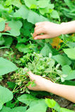 Woman hands picking herb at garden Stock Photos