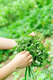 Woman hands picking herb at garden Royalty Free Stock Images