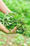 Woman hands picking herb at garden Stock Photography