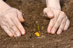 Woman hands planting gladiolus bulb Stock Images