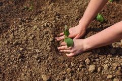 Woman hands planting green seedling into ground. Spring gardening. stock photography