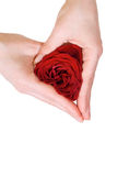 Woman hands shaping a rose heart Royalty Free Stock Image