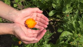 Woman hands show marigold flower bloom hidden in arms. 4K. Woman hands show marigold flower bloom hidden in arms. Colorful herb grow in garden. Static closeup stock video