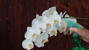 Woman hands with sprayer spraying on orchid flowers. Woman hands with sprayer spraying on white orchid flowers stock video footage