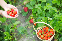 Woman hands with strawberry Royalty Free Stock Photo