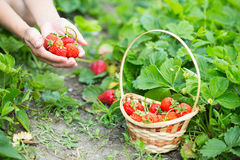 Woman hands with strawberry Stock Image