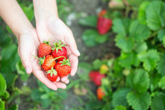 Woman hands with strawberry Royalty Free Stock Photos