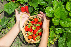 Woman hands with strawberry Royalty Free Stock Images