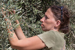 Woman harvest green olives, Israel. stock photography