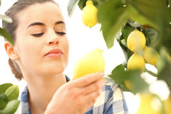 Woman harvest a lemon from the tree Royalty Free Stock Images