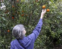 Woman harvest a ripe Orange. Woman harvesting a ripe Orange from a t tree royalty free stock photo