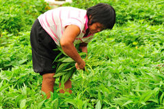 Woman harvest vegetable Royalty Free Stock Image