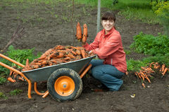 Woman with harvested carrots Royalty Free Stock Images