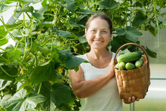 Woman with harvested cucumbers Stock Image