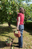 Woman harvesting apples Stock Images