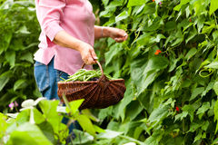 Woman harvesting beans in her garden Royalty Free Stock Photos