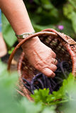 Woman harvesting beans in her garden Royalty Free Stock Image