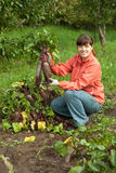 Woman  harvesting beetroot Stock Photo