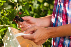 Woman harvesting berries in garden Stock Image