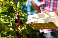 Woman harvesting berries in garden. Woman (only hands) harvesting berries in garden with wooden basket Royalty Free Stock Images