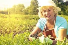 Woman harvesting carrots garden Stock Photo