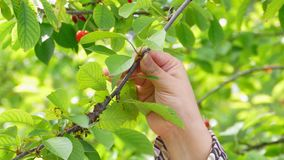 Woman harvesting a cherry stock footage
