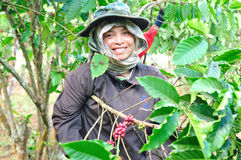 Woman is harvesting coffee berries Stock Photography