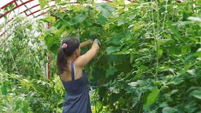 Woman harvesting cucumbers in a greenhouse. Young woman harvesting cucumbers in a greenhouse. Female farmer working in a vegetable garden. Farming, gardening stock video footage