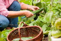 Woman harvesting cucumbers in her garden Stock Photography
