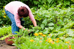 Woman harvesting cucumbers in her garden Stock Photo