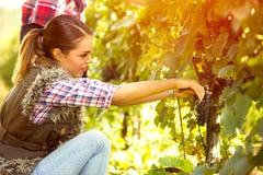 Woman harvesting the grape Stock Photos