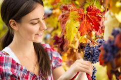 Woman harvesting grape Royalty Free Stock Photos