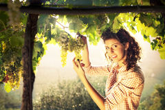 Woman harvesting grapes under sunset light. Beautiful woman harvesting grapes under sunset light Royalty Free Stock Photography