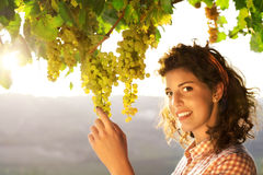 Woman harvesting grapes under sunset light. Beautiful woman harvesting grapes under sunset light Royalty Free Stock Image