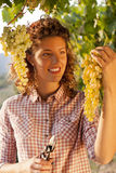 Woman harvesting grapes under sunset light Stock Images