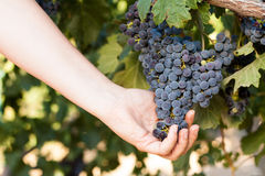 Woman harvesting grapes in the vineyard Royalty Free Stock Photo