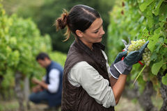 Woman harvesting grapes. In a vineyard Royalty Free Stock Images