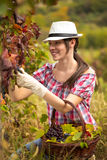 Woman harvesting grapes Stock Photo