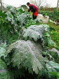 Woman harvesting kale at farm. Farm fresh kale with rain water droplets on leaves with female farmer harvesting in background Royalty Free Stock Image