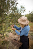 Woman harvesting olives from tree Royalty Free Stock Image