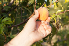 Woman harvesting peach on tree Stock Photo