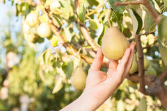 Woman harvesting pears on a tree branch Stock Images