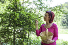 Woman harvesting pine spruce tips Royalty Free Stock Photography