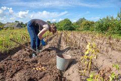 Woman harvesting potato on the field Stock Photography