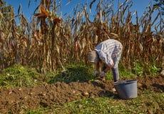 Woman harvesting potatoes Stock Images