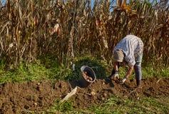 Woman harvesting potatoes Royalty Free Stock Image