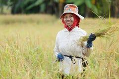 Woman harvesting rice. Burmese woman harvesting rice in north Thailand Stock Photo
