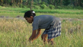 Woman harvesting rice in the Philippines Stock Photography