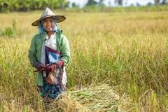 Woman harvesting rice. With a  scythe in Thailand Royalty Free Stock Photography
