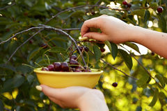 Woman harvesting ripe cherries Stock Photos